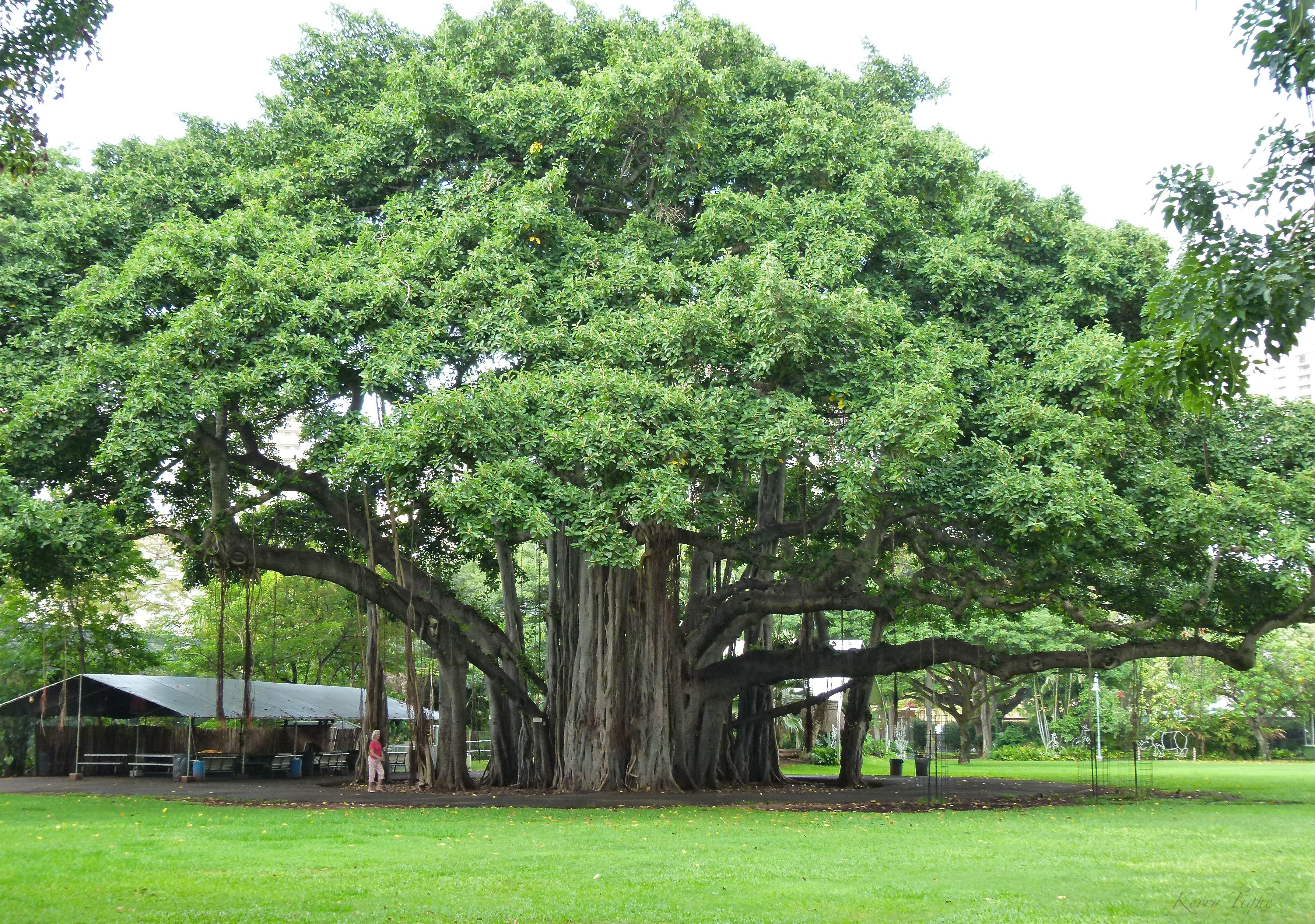 information about trees in india